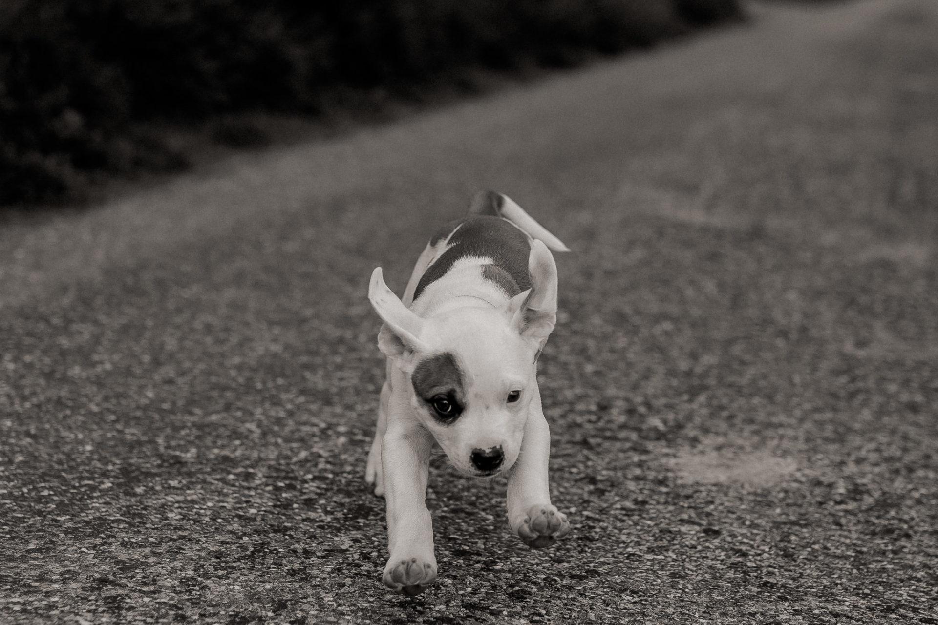modern dog portraits-dog photographer-animal photography-pets photos-american bulldog puppy-proud heroes bulldogs