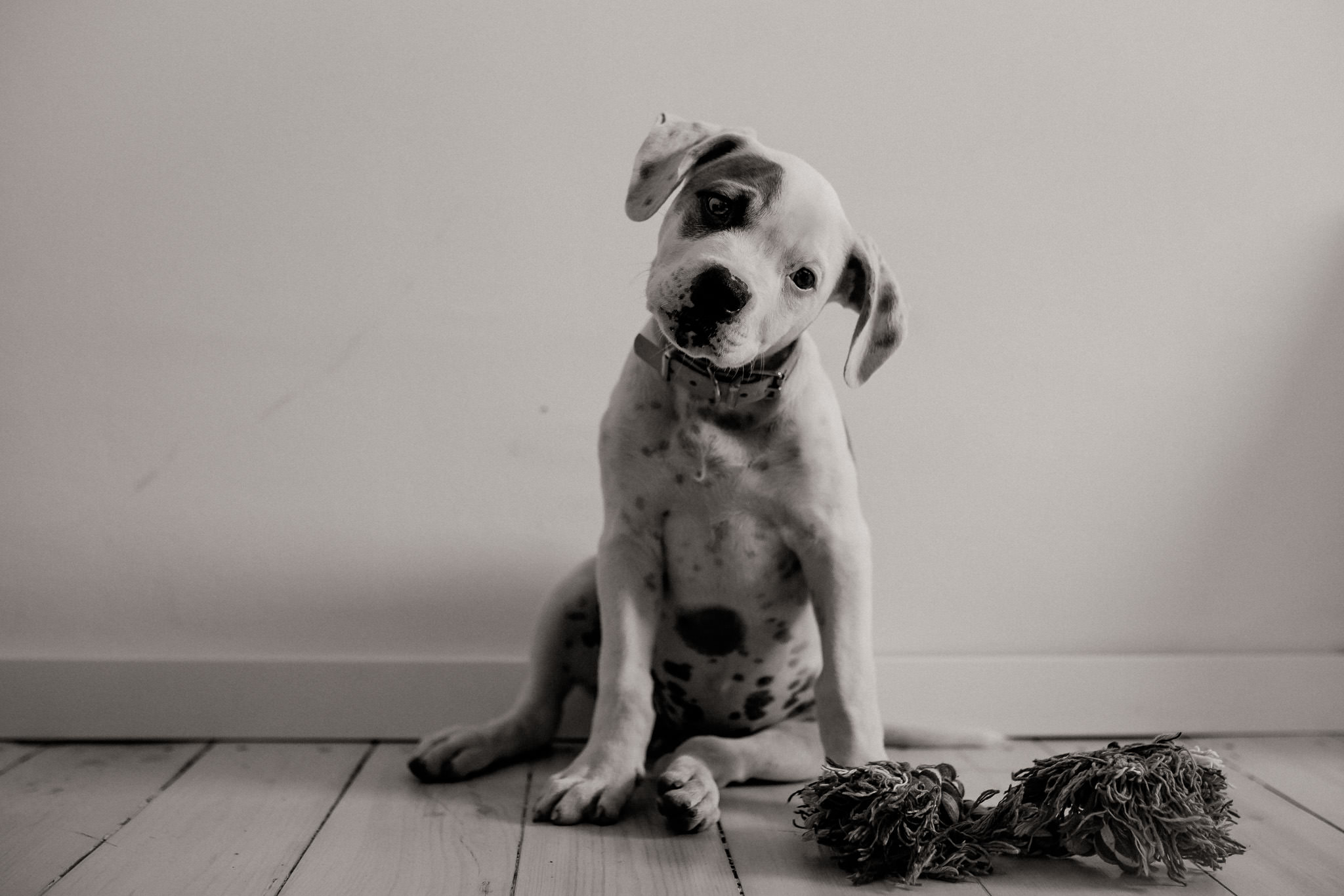 Dog Photographer Germany American Bulldog Puppy 8 Maria Luise