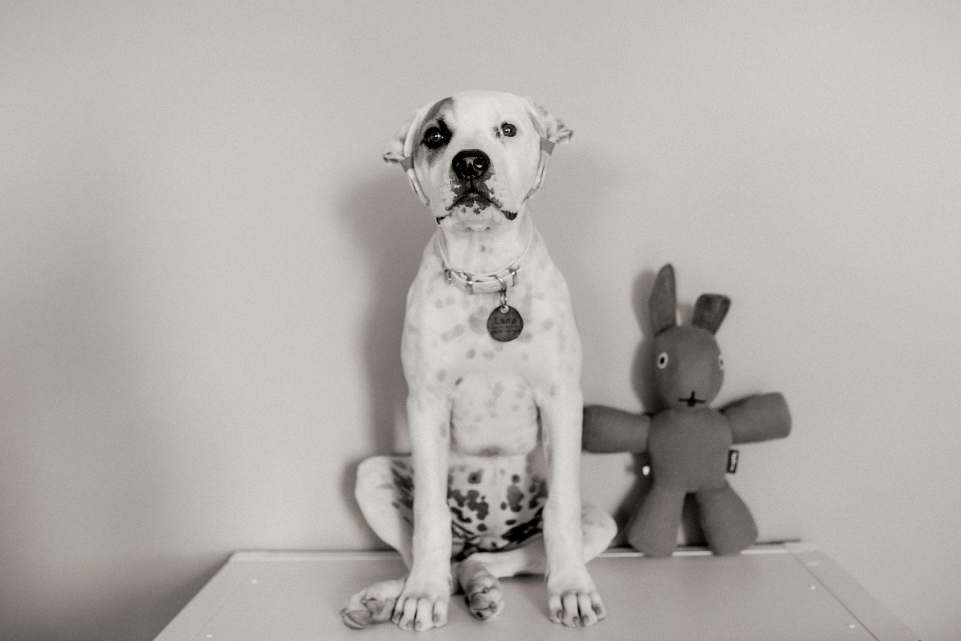 dog photographer stuttgart-pets portraits-natural animal photos-american bulldog puppy-two puppies-playtime-training treats