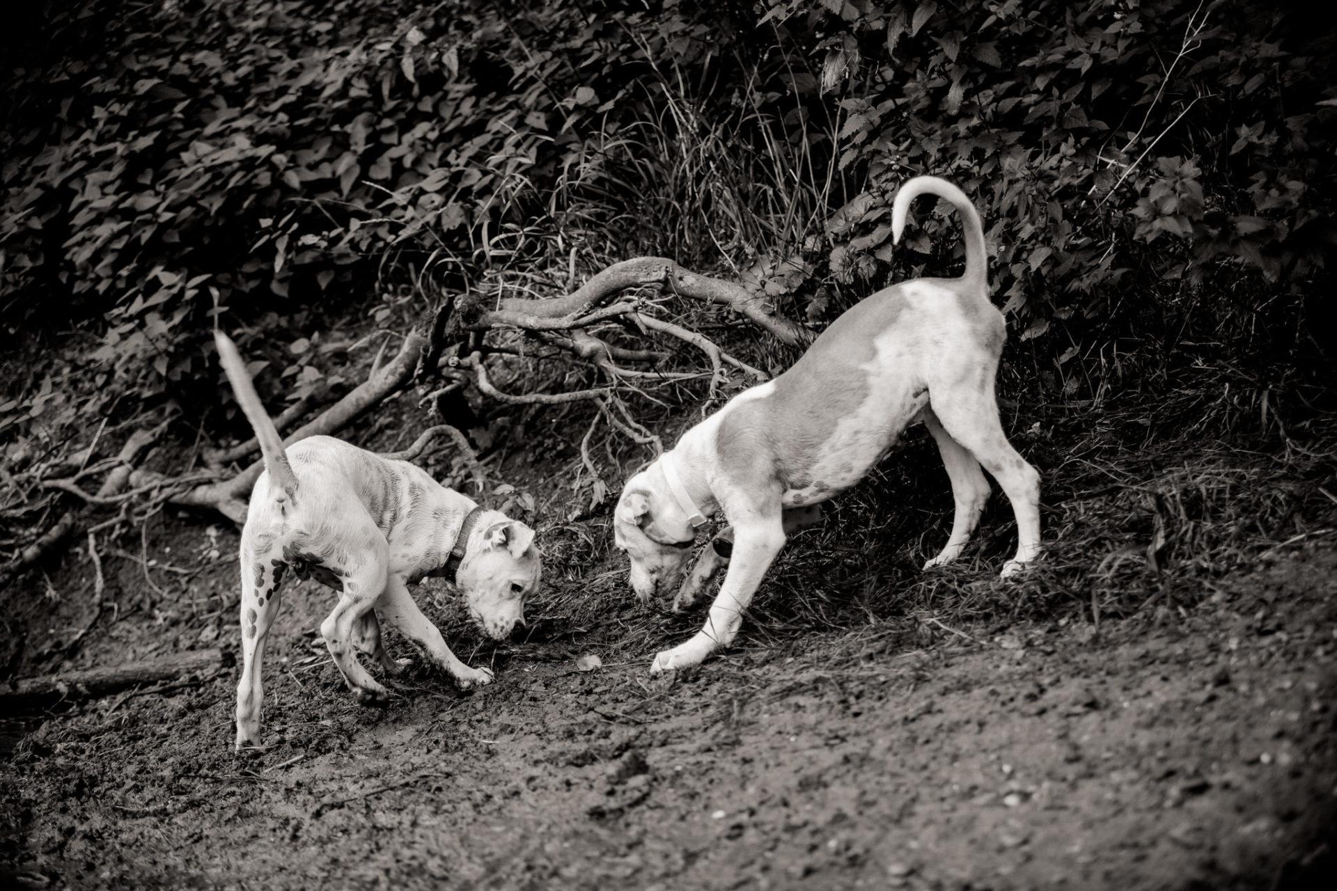 dog photographer stuttgart-pets portraits-natural animal photos-american bulldog puppy-two puppies-playtime