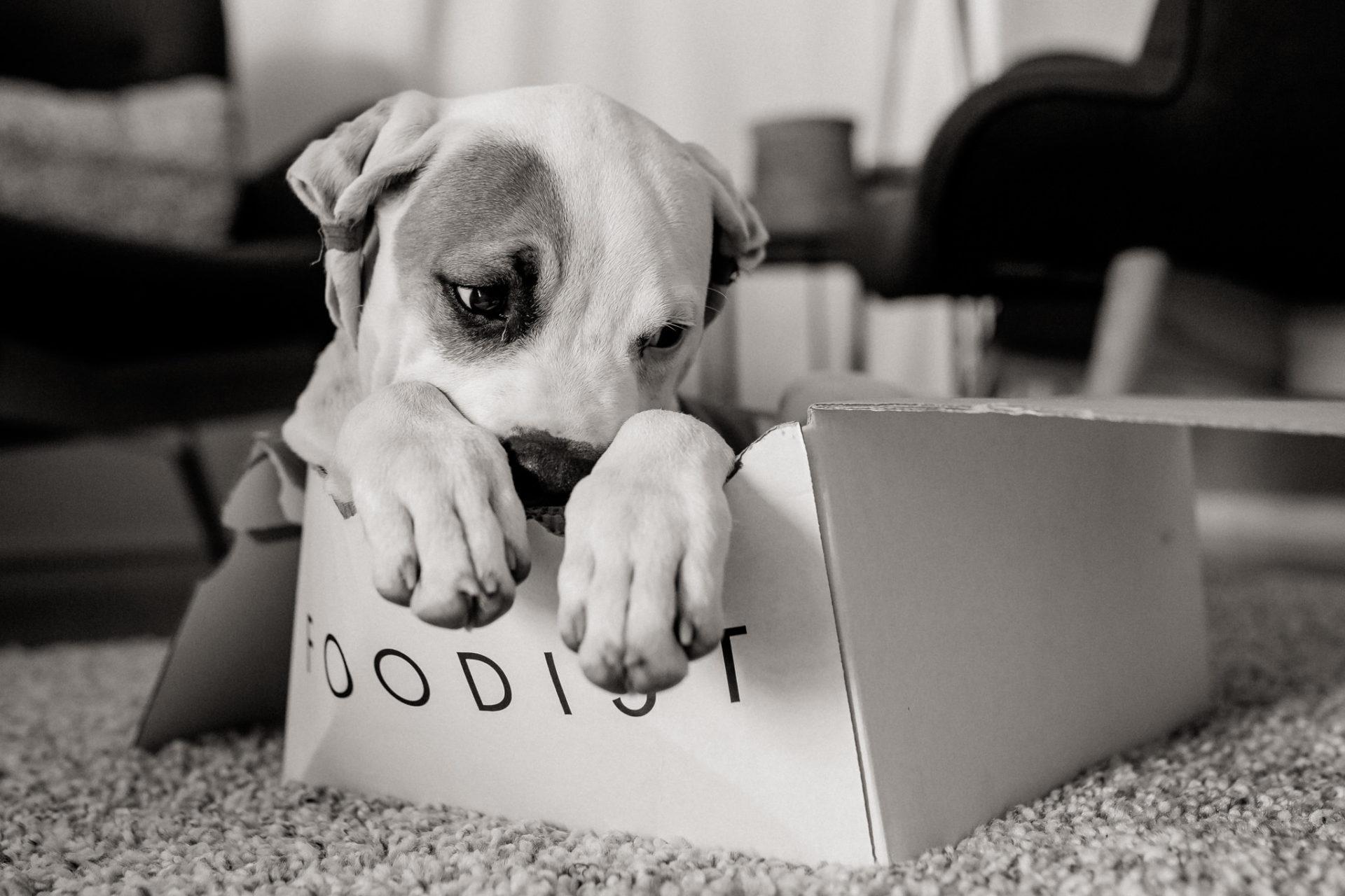 dog photographer stuttgart-pets portraits-natural animal photos-american bulldog puppy-foodist box