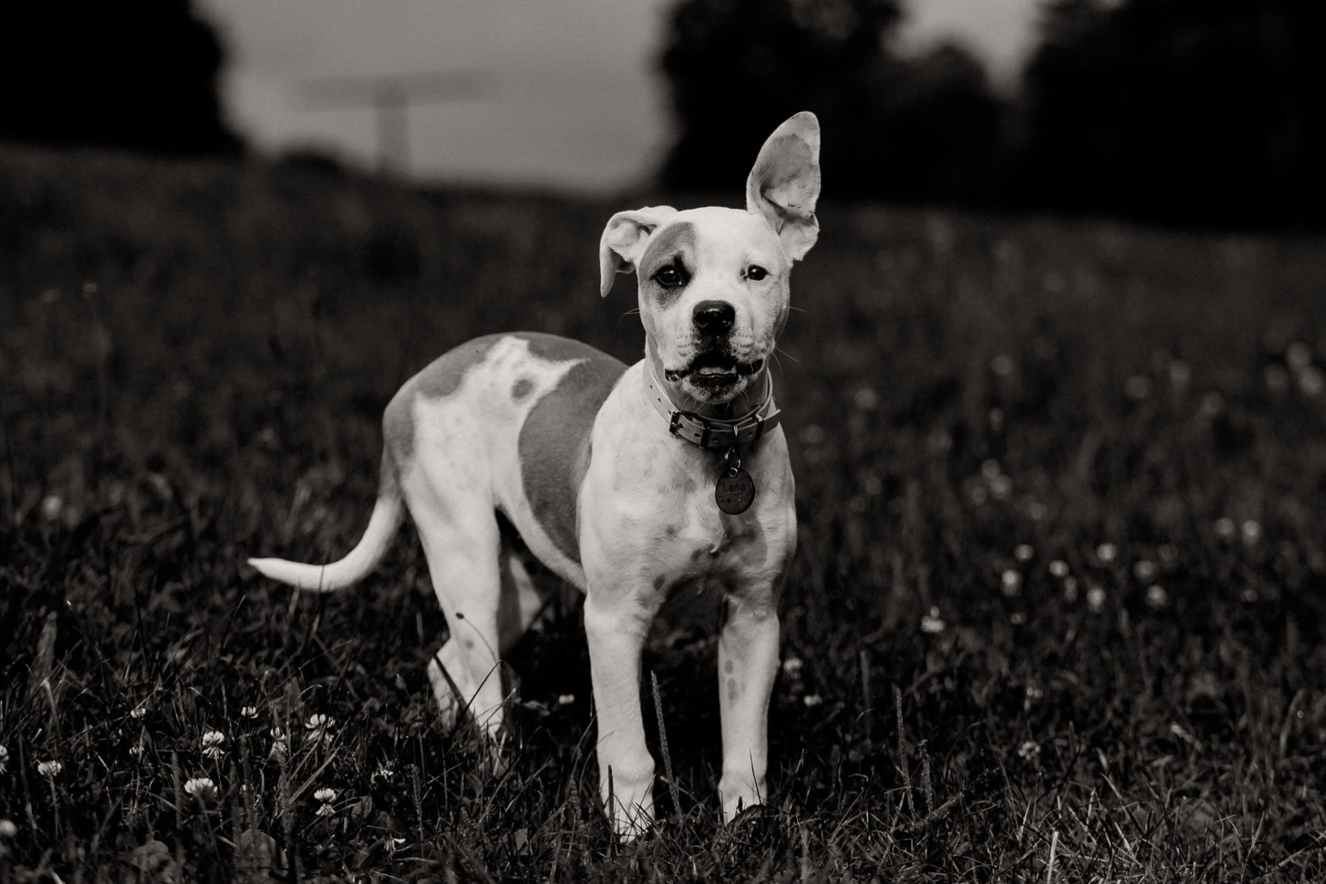 dog photographer stuttgart-home stories with pets-natural animal portraits-american bulldog puppy-proud heroes kennel-funny puppy ears