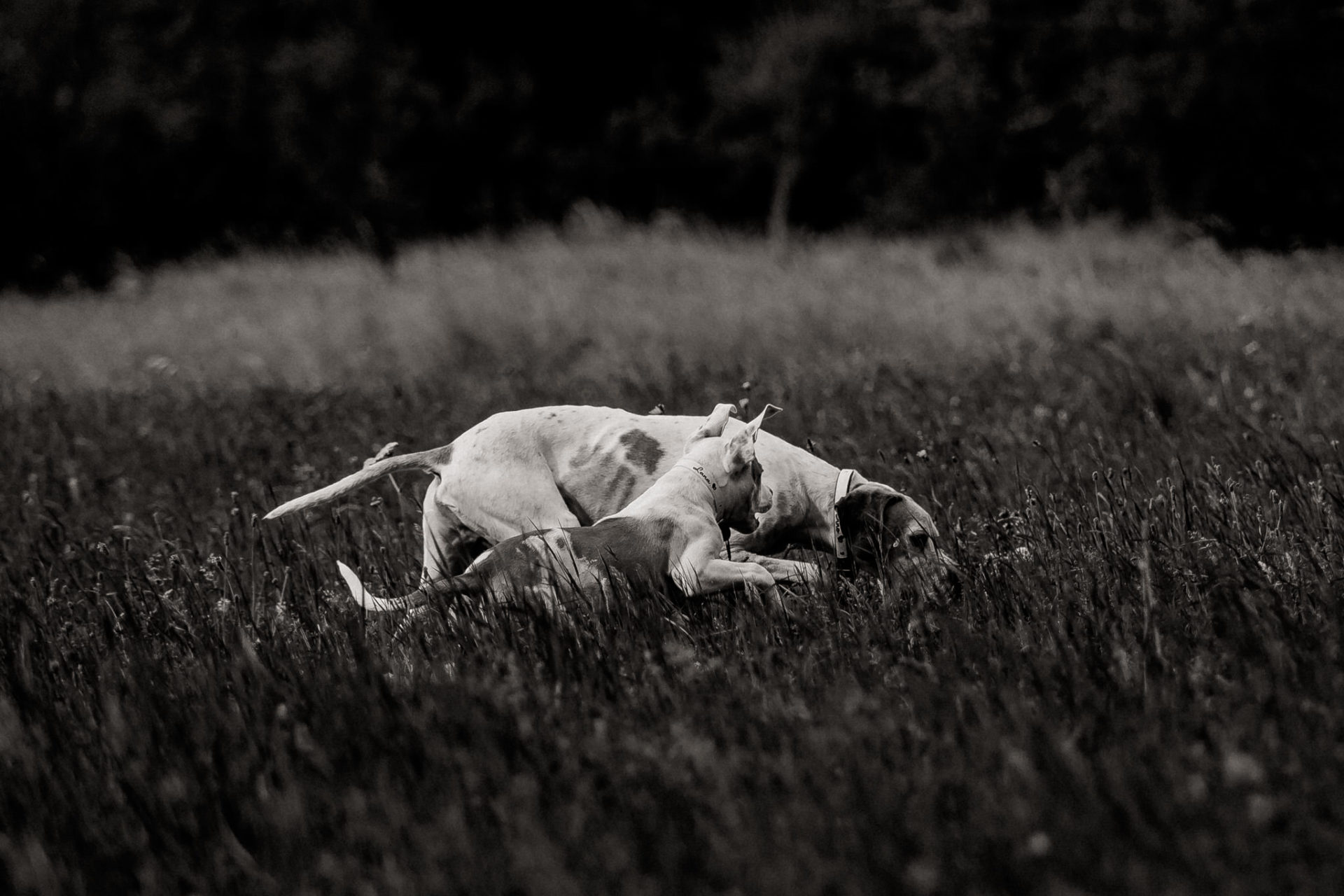 dog photographer stuttgart-home stories with pets-natural animal portraits-american bulldog puppy-proud heroes kennel