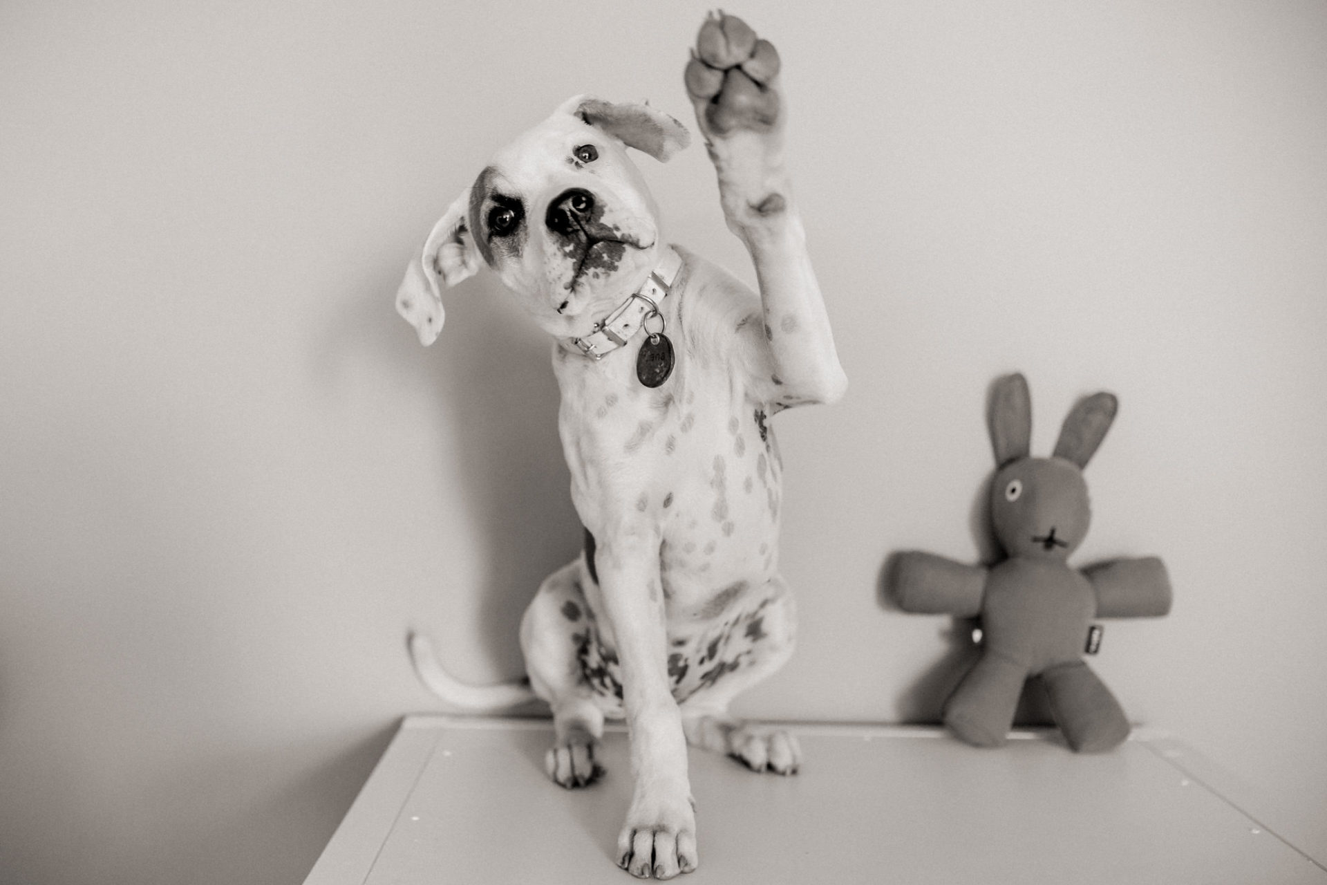 dog photographer stuttgart-home stories with pets-natural animal portraits-american bulldog puppy-proud heroes kennel-puppy training tricks