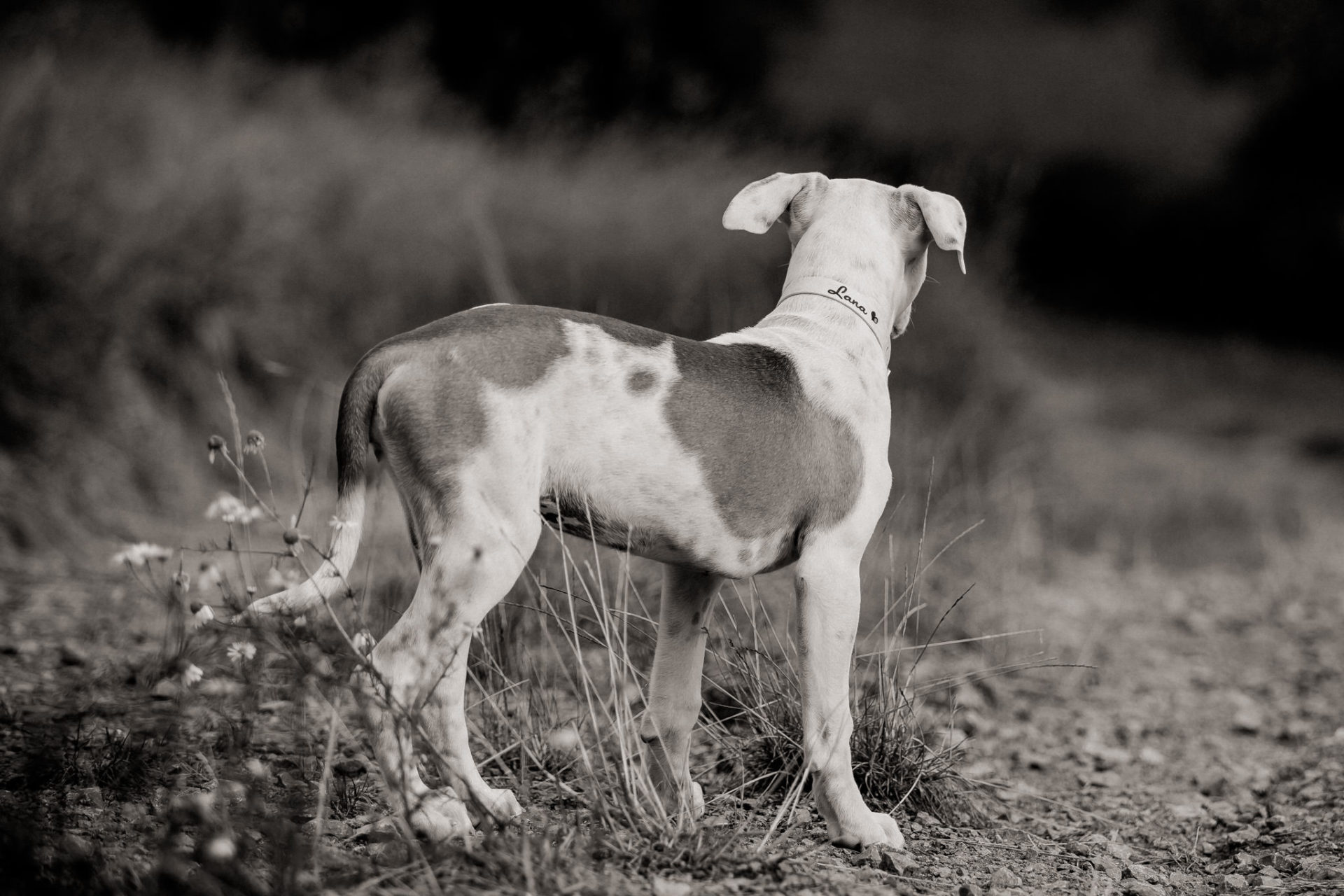 dog photographer stuttgart-home stories with pets-natural animal portraits-american bulldog puppy-proud heroes kennel-puppy playtime