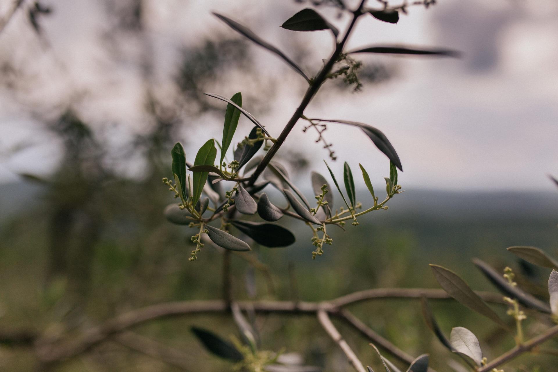 wedding photographer tuscany-italy road trip with dog-chianti region wineries hiking-organic vineyard-olive tree